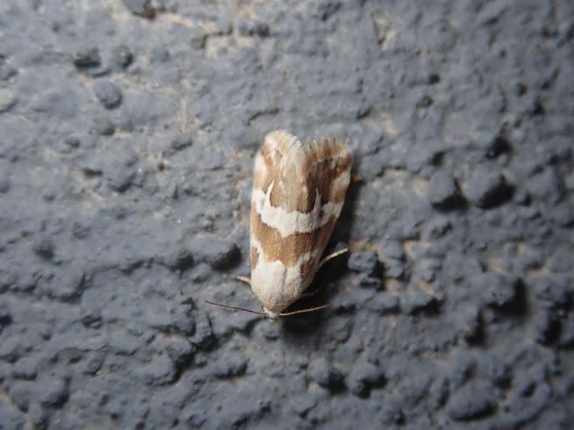 Eublemma elychrys