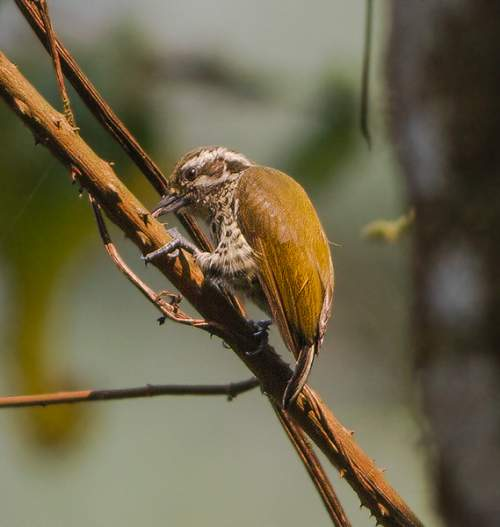 Birds of India - Photo of Speckled piculet - Picumnus innominatus