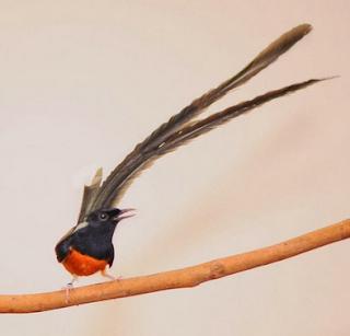Burung Murai Batu Medan