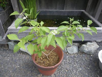 ムラサキシキブ 鉢植え