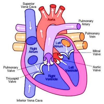 siklus aliran darah pada jantung