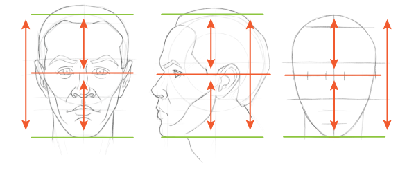 Head proportions chart: The eyes sit at the middle of the head or the halfway point of the length of the head.
