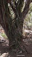 Cactus vine on a tree - Koko Crater Botanical Garden, Oahu, HI