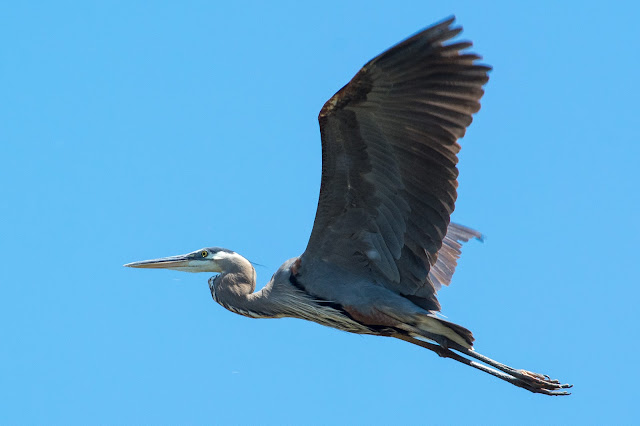 Great Blue Heron, LLELA