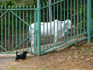 small black dog and white bull