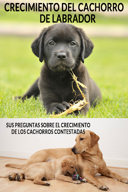 crecimiento de cachorros labrador