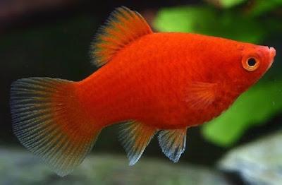 Ikan Platy Coral
