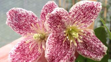 8 variedades de Clematis cirrhosa que dan color al jardín en invierno