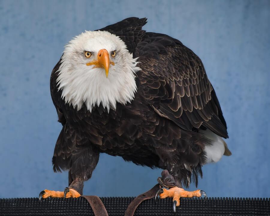 गरुड़ पक्षी के बारे में 15 रोचक तथ्य और मजेदार बातें - Interesting Facts about Eagle in Hindi