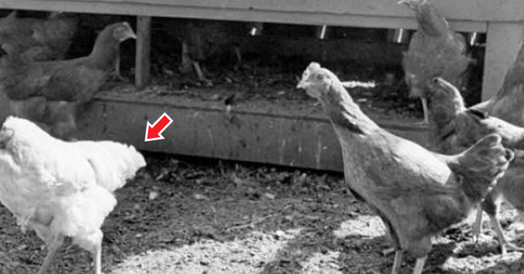 Chickens, with the longest record for a headless chicken running around alive is a year and a half.
