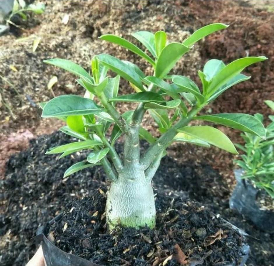 bibit tanaman adenium bunga putih bonggol besar bahan bonsai kamboja jepang Pariaman