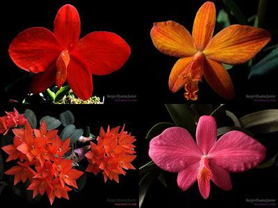 Orquídeas Sophronitis