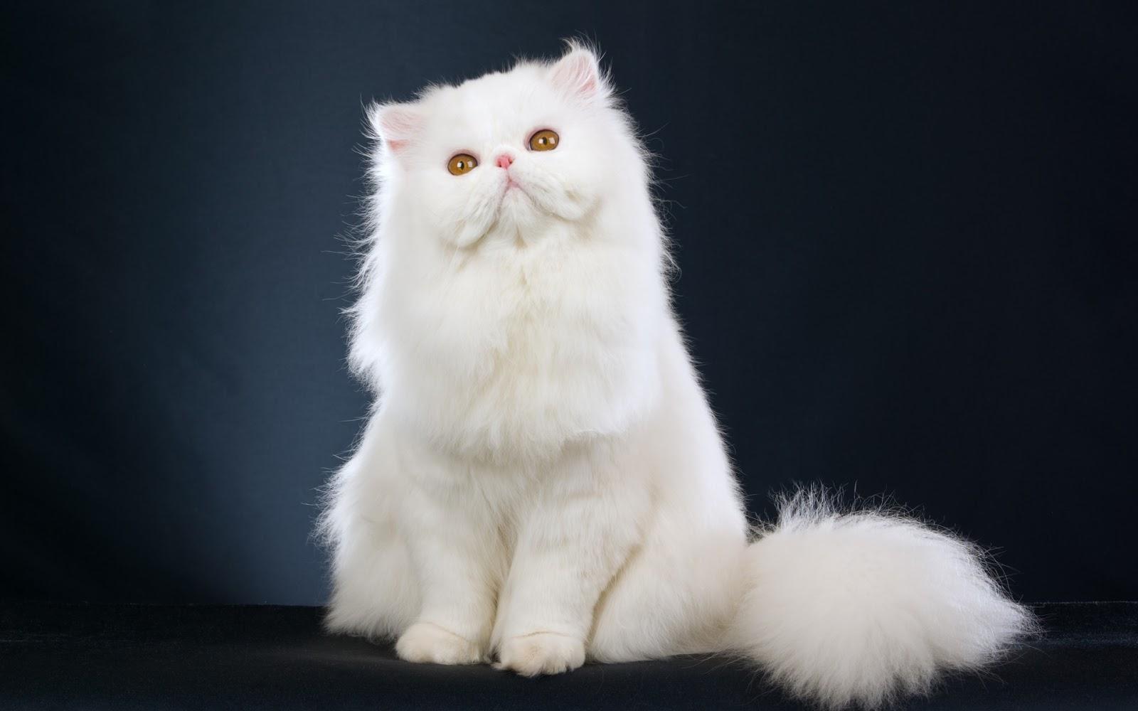 Asal Usul Kucing Lengkap Beserta Gambarnya Maniakucing Com