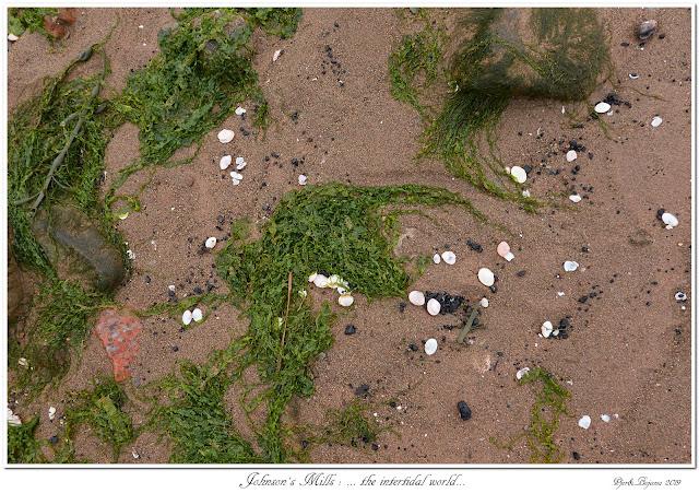 Johnson's Mills: ... the intertidal world...