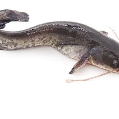 Ikan Lele : Jenis, Ciri-Ciri dan Harganya