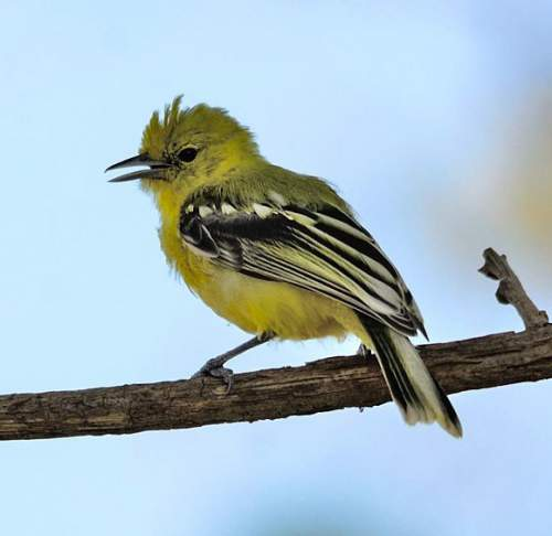 Indian birds - Image of Marshall's iora - Aegithina nigrolutea