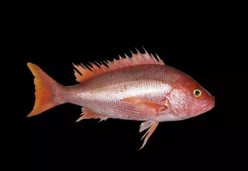 jenis Ikan Kakap Sutra