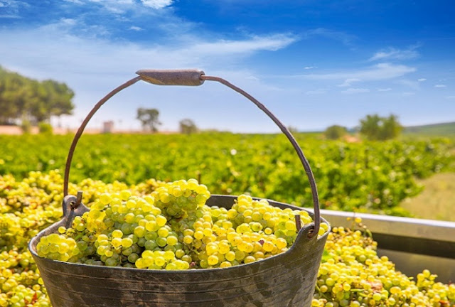 Chardonnay Grapes on Bucket