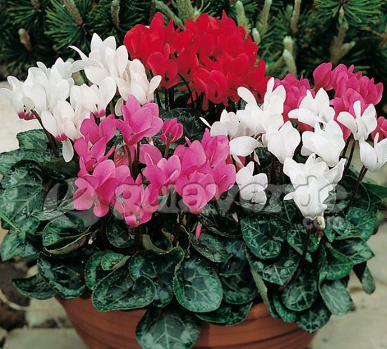 Cyclamen Persicum Indoor House Plant Care