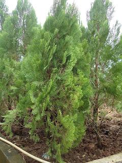 Tukang taman jual pohon cemara kipas murah