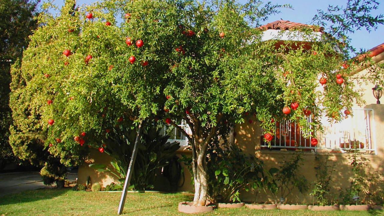 Pohon Buah Pekarangan Terbaik