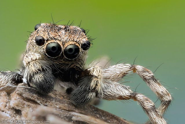 Jumping spider. He prefers to attack prey himself... To overtake his victim, he makes a masterful jump