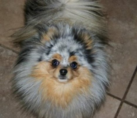 dapple pomeranian oscar the maltese a short note on aesthetics and genetics 8413