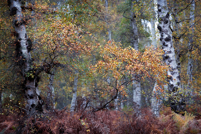 Silver birch trees stand among the autumn colours of red and orange