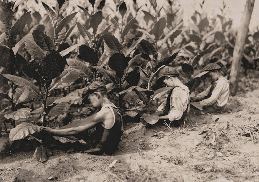Field and Farm Work: Three boys, one of 13 yrs., two of 14 yrs., picking shade-grown tobacco on Hackett Farm. The
