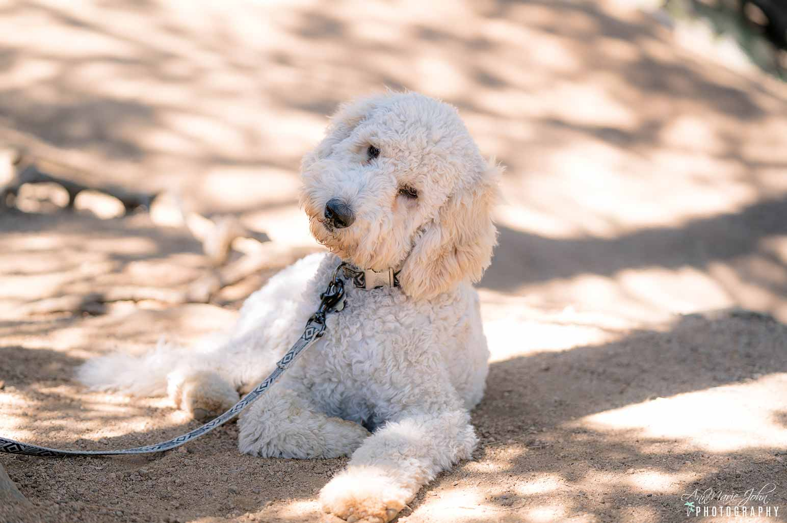 Goldendoodle Puppy Laying on Ground