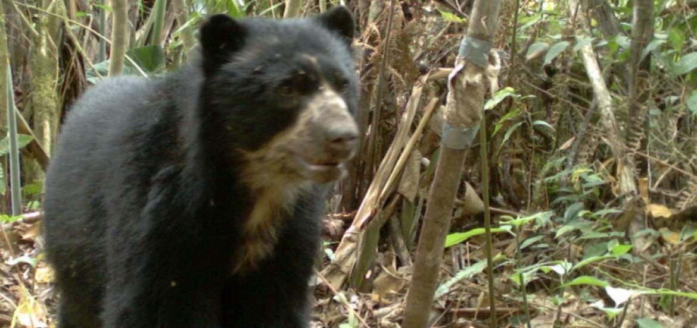 Nueva familia de osos andinos se vio en Papallacta