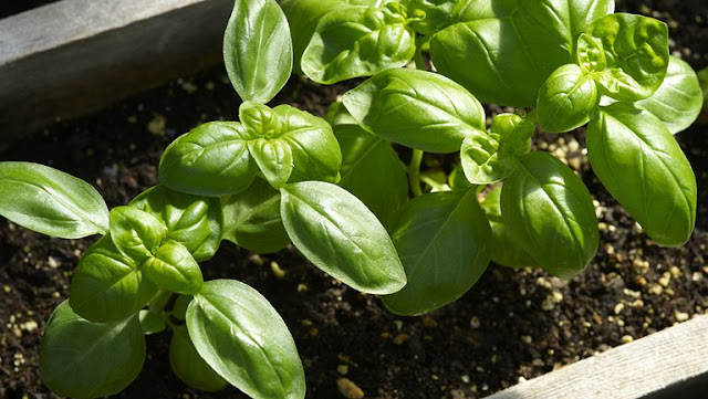 8 mosquito repellent plants suitable for growing in the garden
