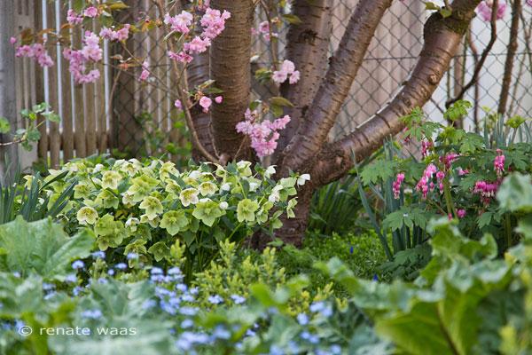 Ländlicher Garten mit Christrosen, Kirsche und Tränendes Herz