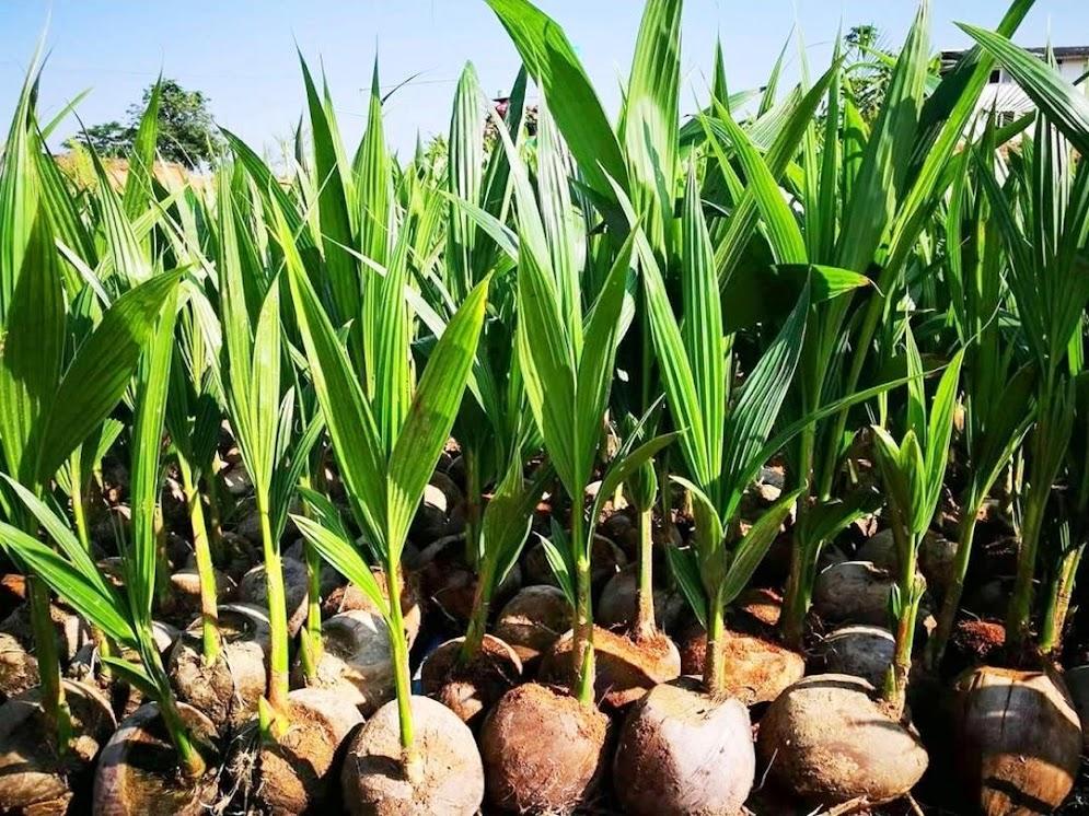 Bibit kelapa hibrida super Kotamobagu