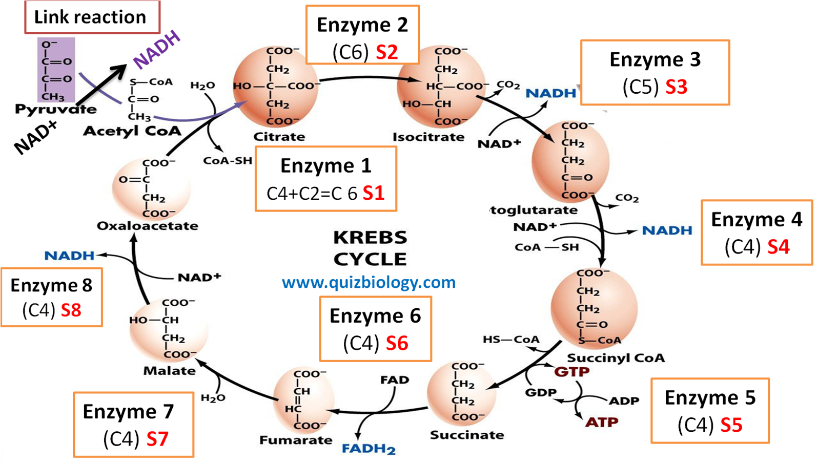 Krebs Cycle Or Citric Acid Cycle Enzyme Labeling Diagram