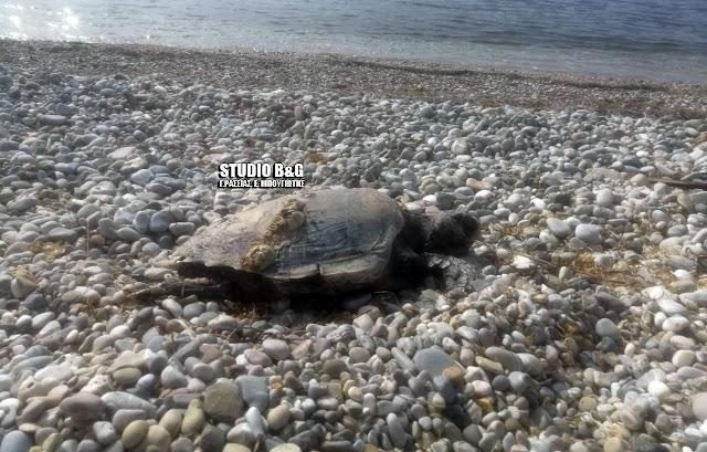 Συνεχίζεται το δράμα με τις νεκρές θαλάσσιες χελώνες στην Αργολίδα