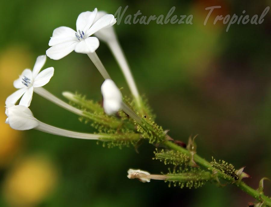 Estructuras papilosas presentes en la base de las flores de una especie del género Plumbago. Planta protocarnívora.