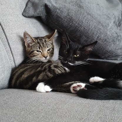 tabby cat and black-and-white cat cuddled up on grey sofa