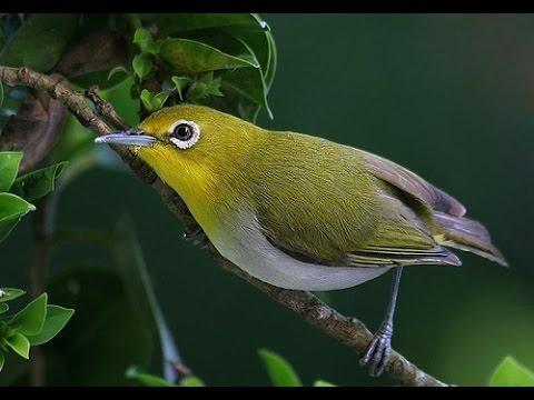Chăm sóc chim vành khuyên