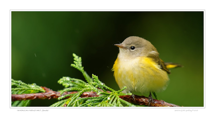 American Redstart- Female