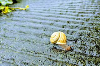 A snail on the Venetian Walls of Bergamo.