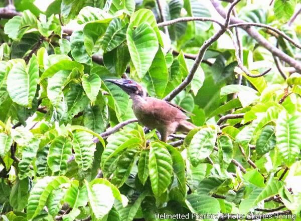 Helmetted Friarbird