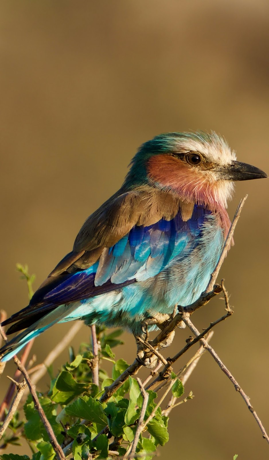 Photo of a lilac-breasted roller.