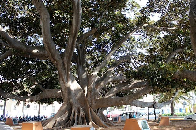 Ficus de Cádiz