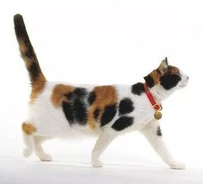 Kenapa kucing 3 warna Tidak pernah lama hidupnya