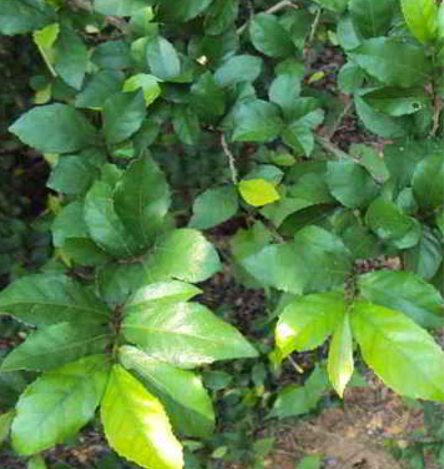 Kasiat Pohon Serut