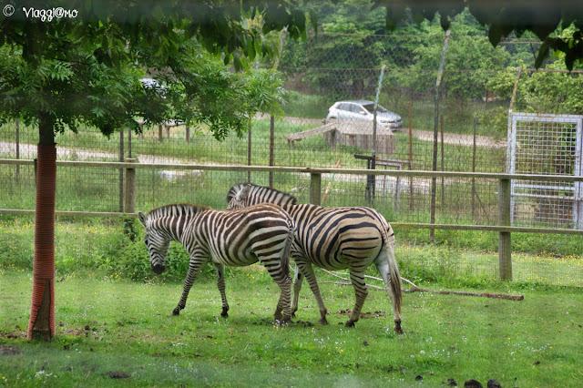 Le Zebre sono alcuni degli ospiti del Parco Safari delle Langhe