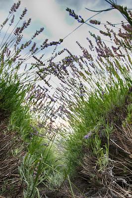 Fruškogorsko polje lavande