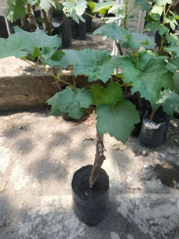 bibit buah anggur jenis shine muscat asli valid Palopo