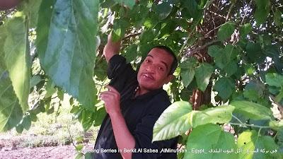 الحسينى محمد , الخوجة , المعلمين , التوت , أكل التوت , فوائد التوت , بركة السبع ,المنوفية , مصر , معلمى بركة السبع , فى بركة السبع - أكل التوت البلدى ,Eating Berries in Berkit Al Sabea ,AlMinufiyah , Egypt